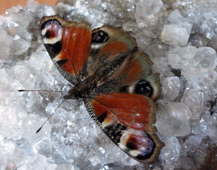 Бабочка на друзовом кальците